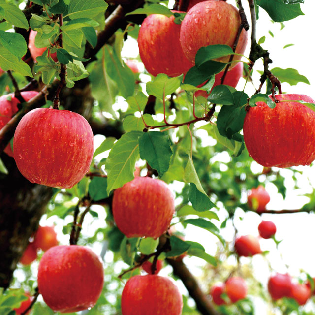 山形県天童市産 かたぎり農園 葉とらず無袋ふじりんご サブ画像1